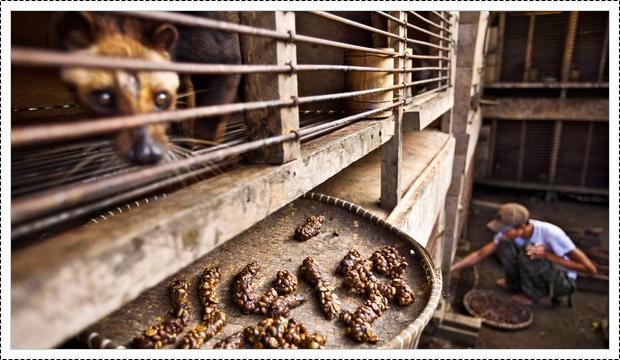 Kopi Luwak Murah | kopi-luwak-murah-2
